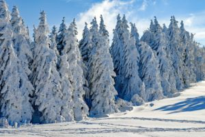evergreen trees covered with snow