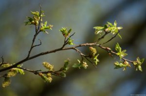 photo of tree buds and small leaves